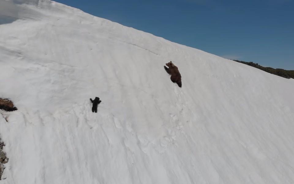 Медведица и медвежонок взбираются по скользкому снежному склону.Фото: скриншот видео