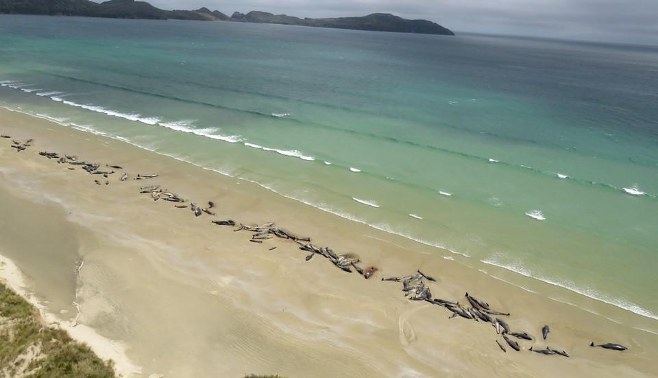 В Новой Зеландии около 50 дельфинов выбросились на берег