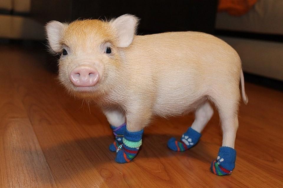 сколько стоит свинка