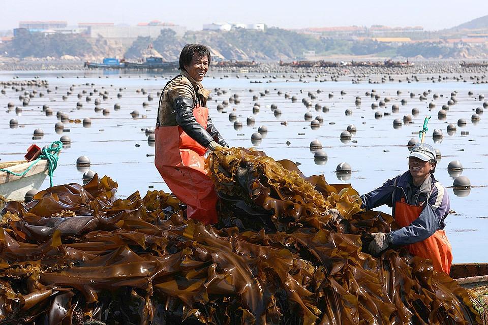 Так выглядит уборка урожая морской капусты в Азии. Фото Zuma/TASS