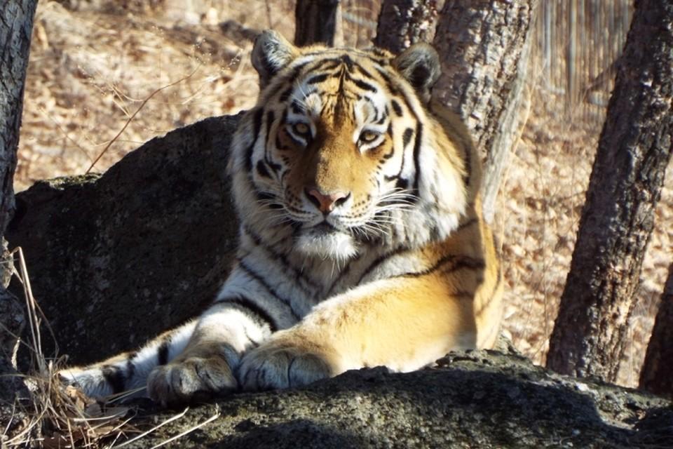 Хабаровск решил оставить тигра Амура в Приморье