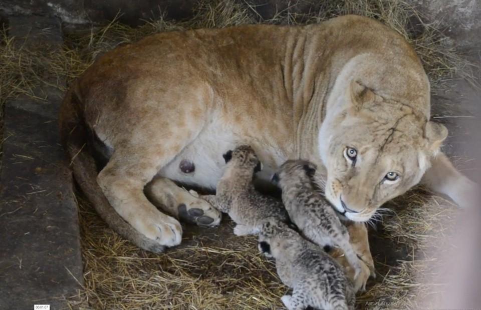 Сейчас челябинская львица Лола - примерная многодетная мама. Фото: Татьяна Алексагина.