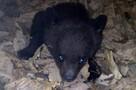Трехмесячная медведица-сирота залезла в огород к приморцам