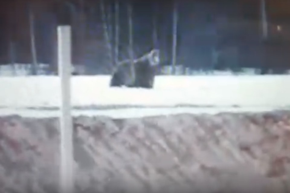 """Медведь вышел из леса к нефтяному месторождению в Иркутской области и погонял вахтовиков. Фото: """"Усть-Кут24"""""""