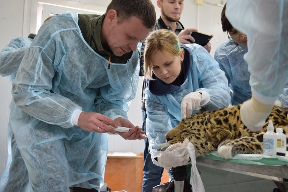 Раненому дальневосточному леопарду провели несколько сложных операций, после чего он пошел на поправку.