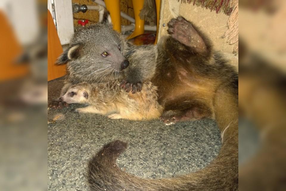 Кот-медведь поселился в иркутской зоогалерее. Фото: соцсети иркутской зоогалереи.