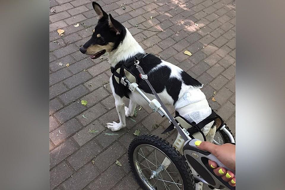 пес на инвалидной коляске учится ходить и ищет хозяев