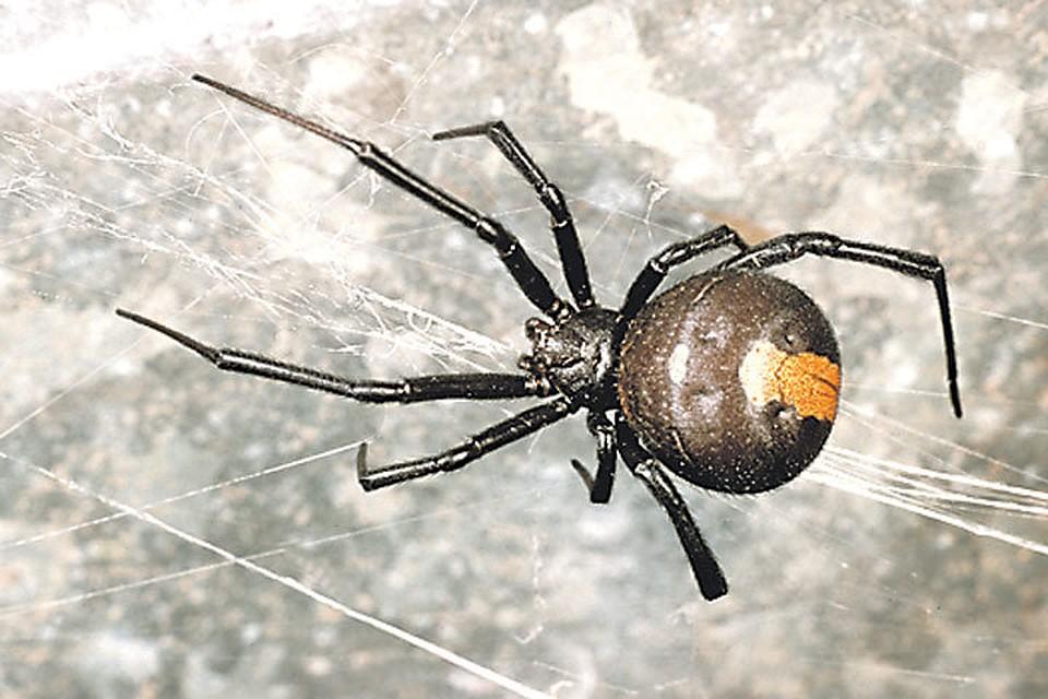 пауки ядовитые фото