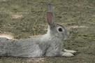 """""""Ну, погоди!"""" по-ростовски: храбрый зайчонок дал отпор мужчине, поймавшему его в поле"""