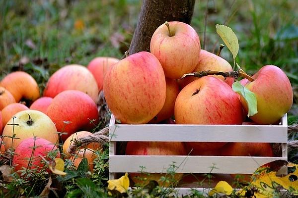 В Россию пытались нелегально провезти 100 тонн молдавских яблок