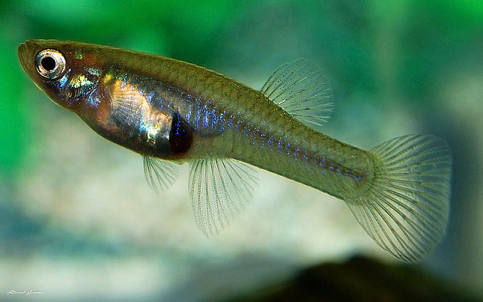 Гамбузия довольно неприхотлива – выживает и в большом водоеме, и в маленьком искусственном пруду.