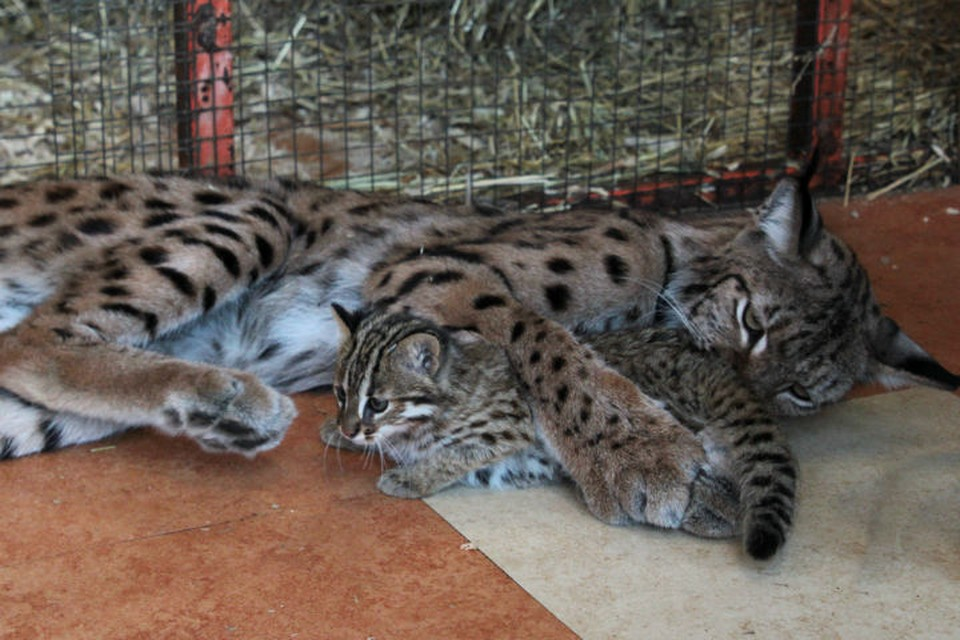Мать-героиня из зоопарка: рысь Алена усыновила амурских котят