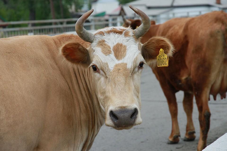 В нескольких российских регионах пытались скрыть вспышки болезней животных
