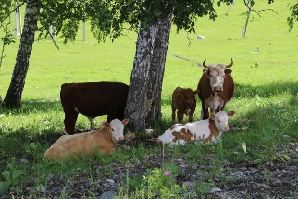 Находиться рядом с крупнорогатым скотом не так уж и безопасно.