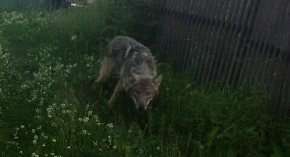 На фото: 14 июля 2018 года в центре поселка Ёдва вышел волк. Местные сфотографировали хищника. Снимок - Удора Онлайн