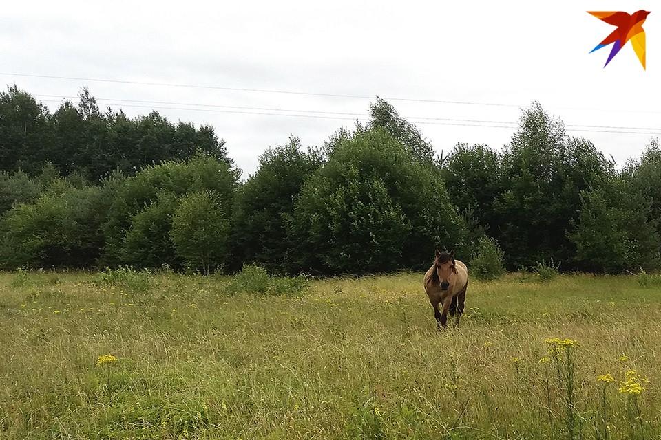 В Столинском районе лошадь умерла от сибирской язвы.