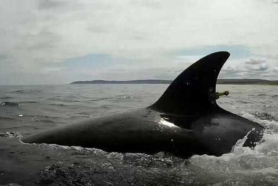 """Ученые уверены, что косатки из """"китовой тюрьмы"""" движутся к Шантарским островам/ ФОТО: vniro"""