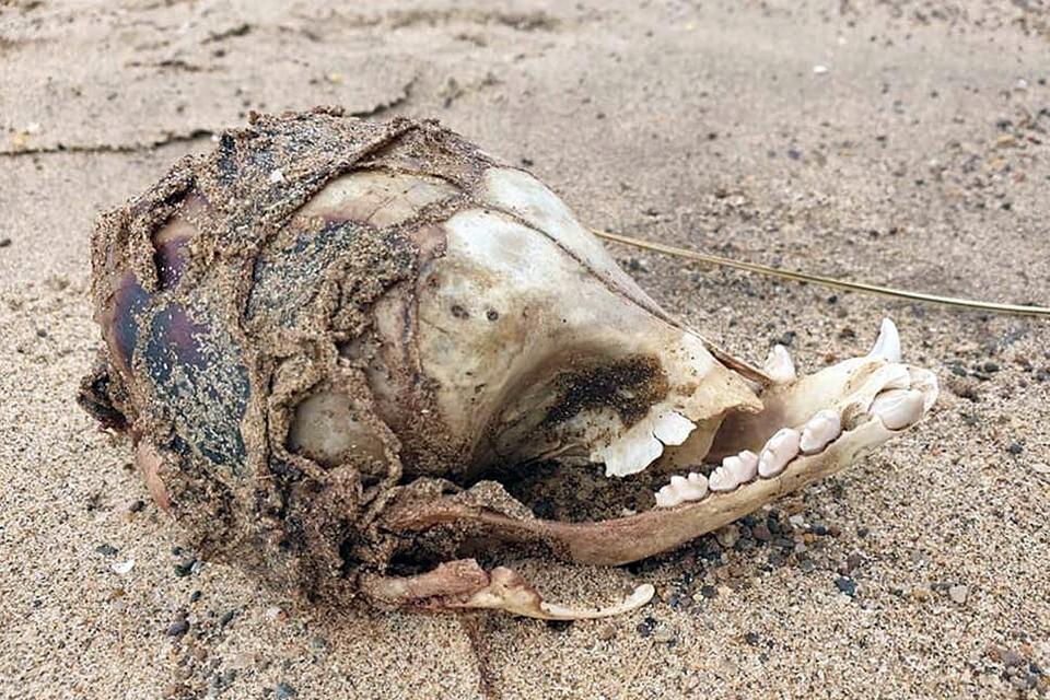 Специалисты лондонской ветеринарной клиники предположили, что это кости собаки брахицефальной породы