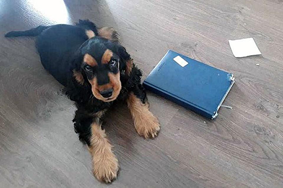 «Хозяев не знаем, но спасибо им»: собака-донор спасла жизнь погибающему от укуса клеща кокер-спаниелю Фото: семейный архив Чарли