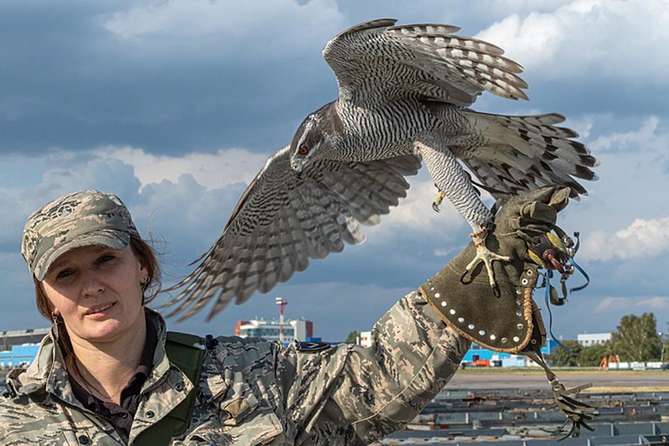 Орнитолог Ника Рыжова-Аленичева и ястреб-тетеревятник по кличке Сильва гоняют залетных перепелок и чаек в одной связке уже почти семь лет