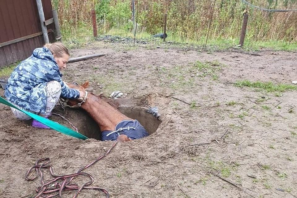 Упавшую в канализационный люк в Петербурге лошадь доставали с помощью автокрана