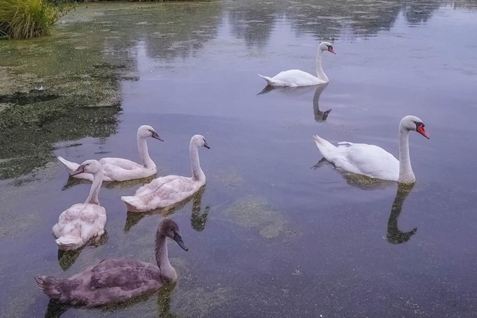 На этом снимке лебединая семья еще в полном составе. Фотография сделана в конце лета.
