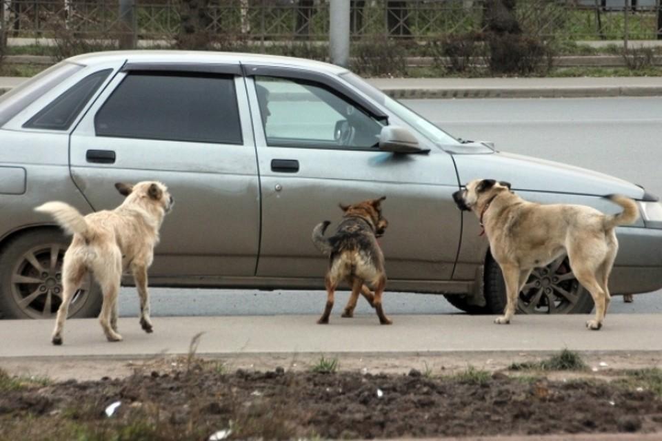 Поведение бродячих собак непредсказуемо