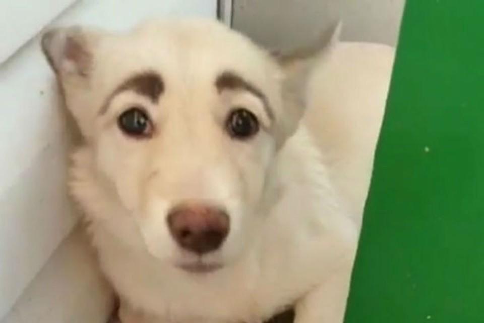 Лучше, чем у любой современной девушки: собака с бровями из Братска покорила интернет. Фото: скриншот видео со страницы dobrye_ruki_bratsk.
