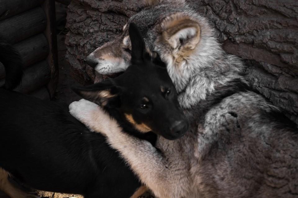 волчица Джесси и дворняжка Жужа поселились в Иркутском зоосаде