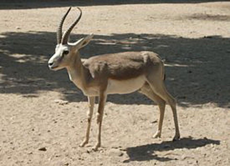 Джейран - изящное и довольно быстрое животное из рода газелей.