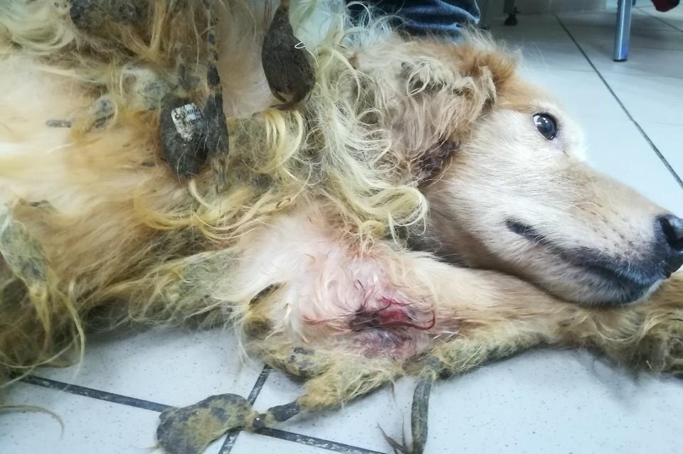 """Собаки истощены и больны. Фото группы """"МЫ - ВОЛОНТЕРЫ! ©Рыжий Хвост"""""""