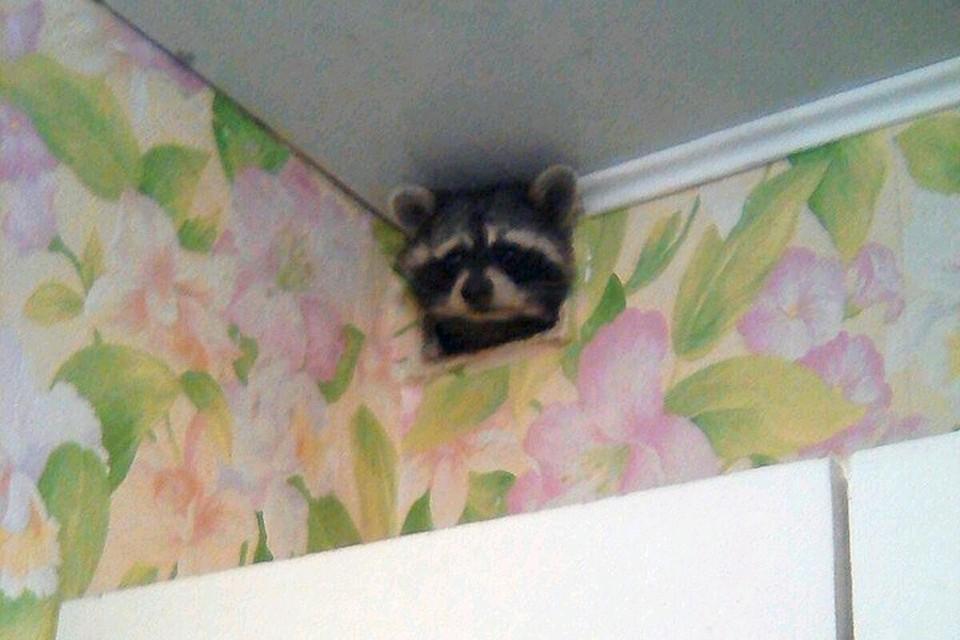 В квартиру ухтинки пытался пробраться енот. Фото Елены Корень