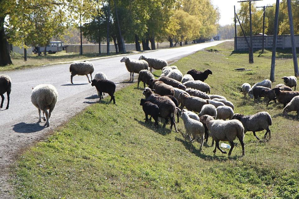 В Хакасии стая волков разорвала 80 овец, пока сторожевые собаки спали