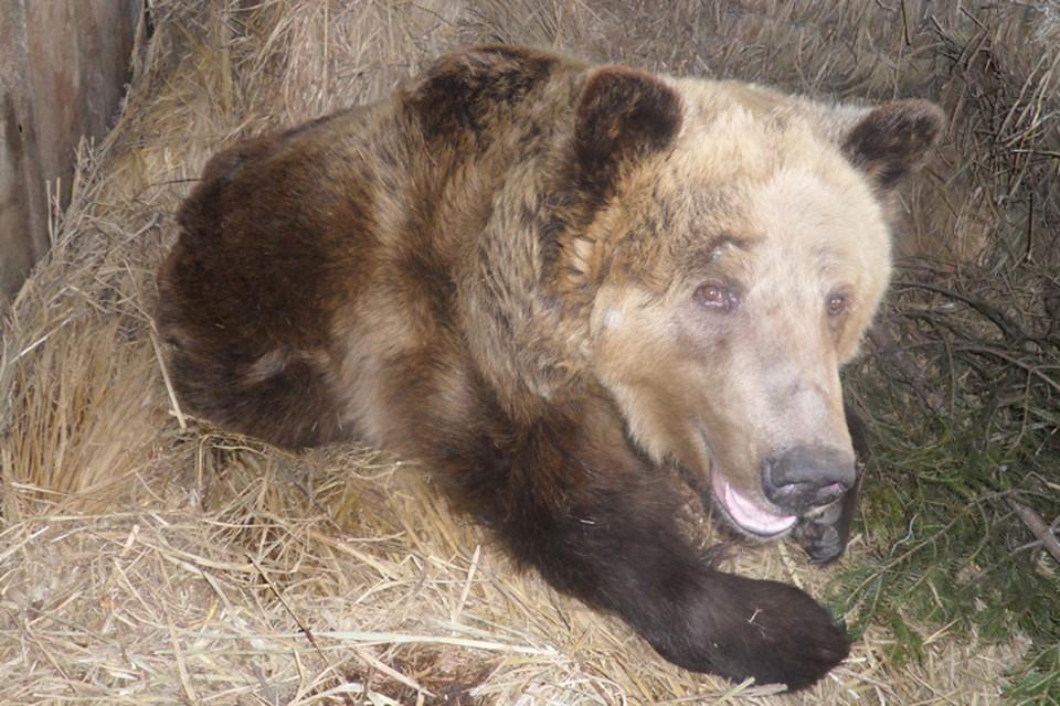 Медведь-убийца до сих пор не найден: косолапый шатун держит в страхе жителей таежного поселка на севере Иркутской области
