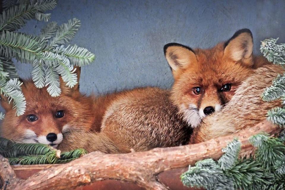 Животным украсят вольеры и дадут полакомиться еловыми ветками. Фото: moscowzoo.ru