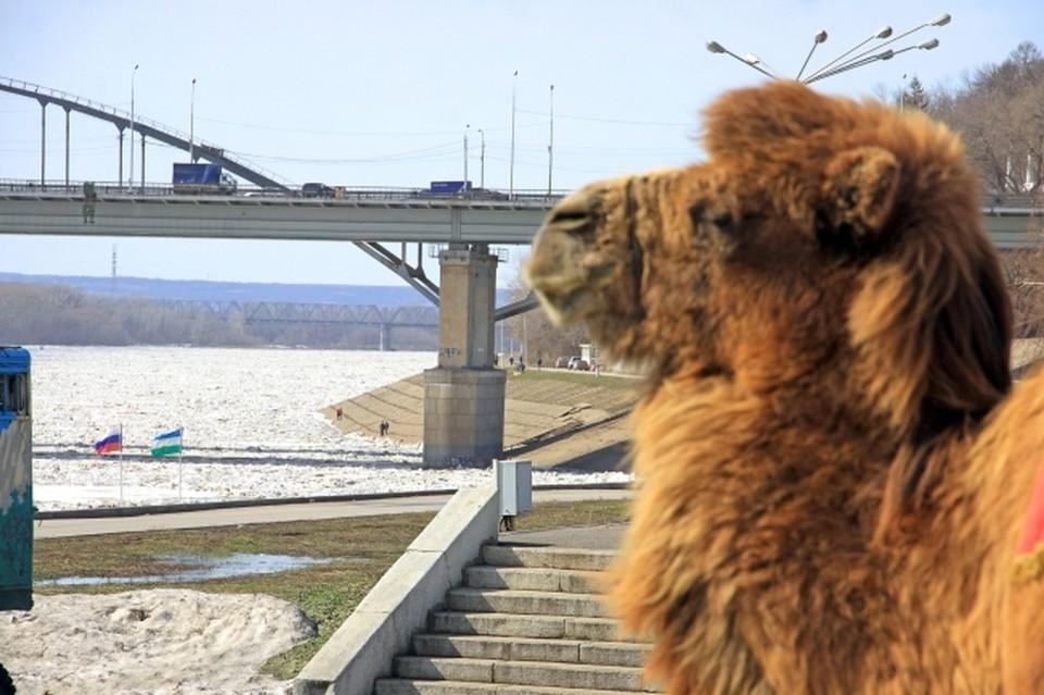Верблюд решил помериться силами с поездом и побежал впереди паровоза.