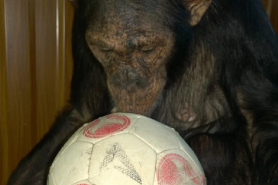 Рада мячам и машинкам: зоопарк Иркутска просит приносить игрушки для шимпанзе Леи. Фото: Дом природы Иркутска
