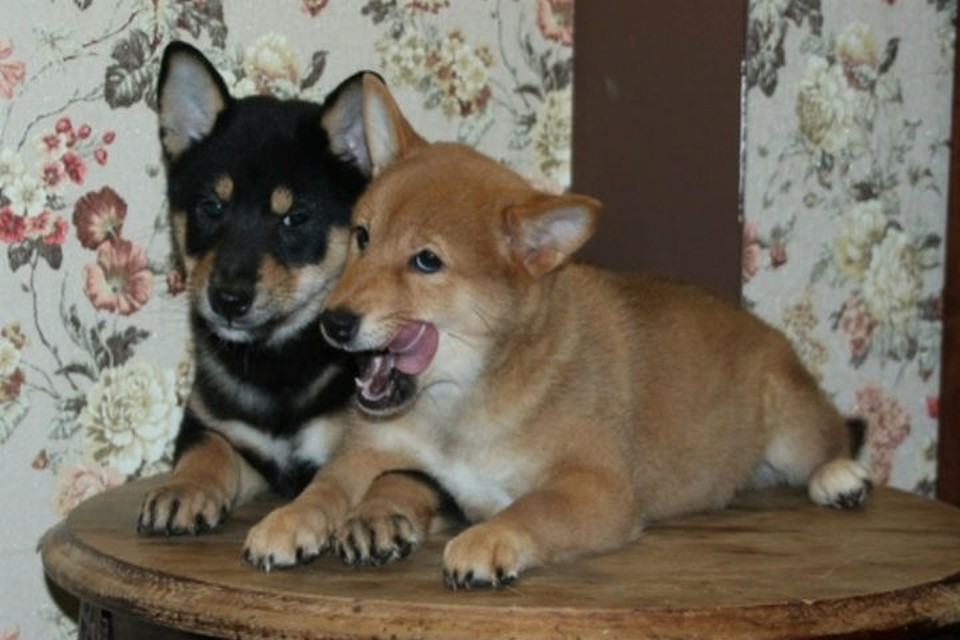 Меняем собак на электроэнергию: иркутский зоопарк продает щенков Сиба-ину, чтобы заплатить за ЖКХ. Фото: Людмила Ивушкина.