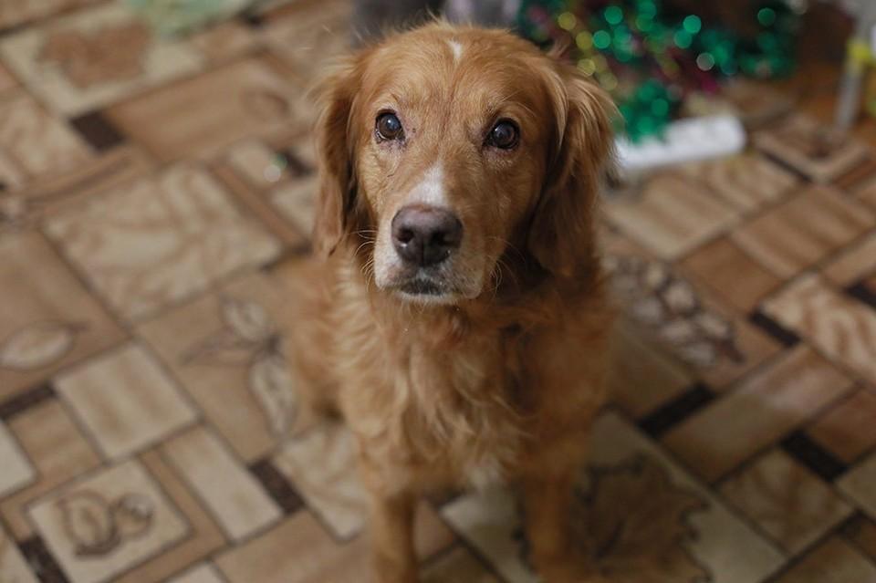Абрикоса замерзшим и голодным обнаружили в Красноярске на берегу Енисея волонтеры приюта для собак «Алькин Дом»