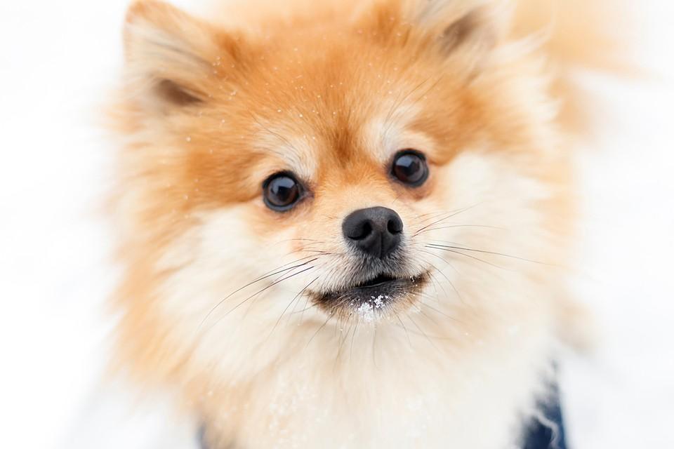 Померанского шпица поместили в специальный карантинный центр для животных