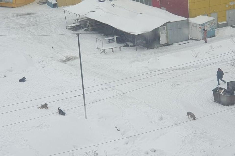Жители ОбьГЭСа жалуются на стаю бездомных собак, обитающую около торгового центра и остановки «Ветлужская». Фото: предоставлено героем материала