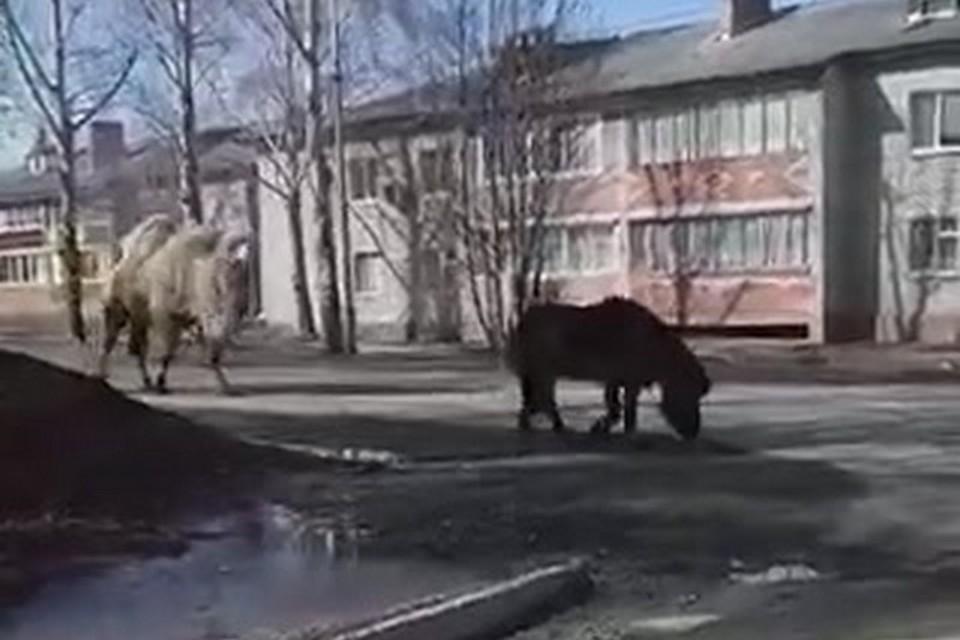 Верблюд и пони нарушили режим самоизоляции и отправились бродить по пустынным улицам города. Стоп-кадр видео