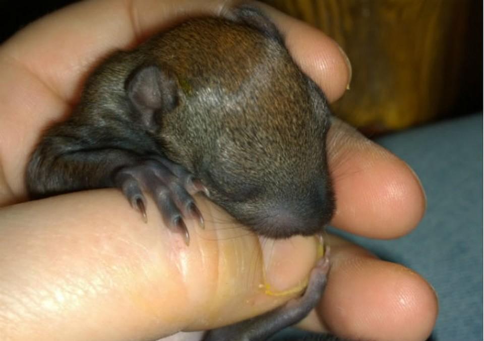 Новорожденного бельчонка выхаживают в Иркутской зоогалерее. Фото Людмилы Ивушкиной