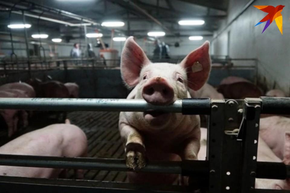 Свиней стало больше на 39,3%.