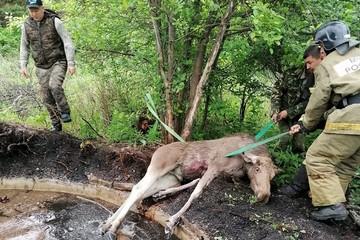 Плакал и звал маму: в Свердловской области спасатели помогли лосенку выбраться из ямы
