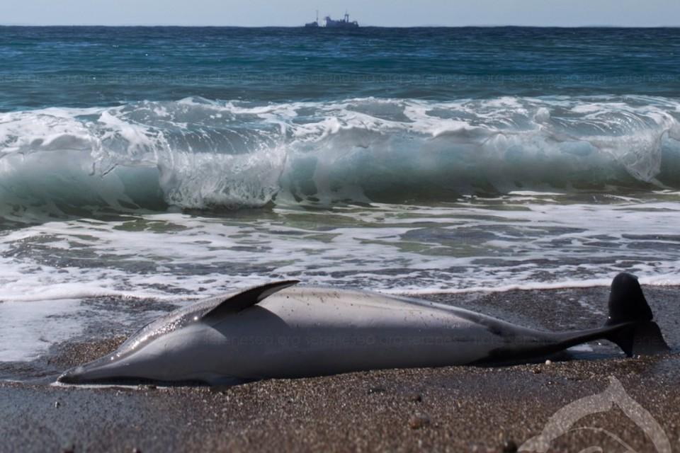В Крыму стали чаще находить мертвых млекопитающих. Фото: Центр реабилитации дельфинов «Безмятежное Море»/VK