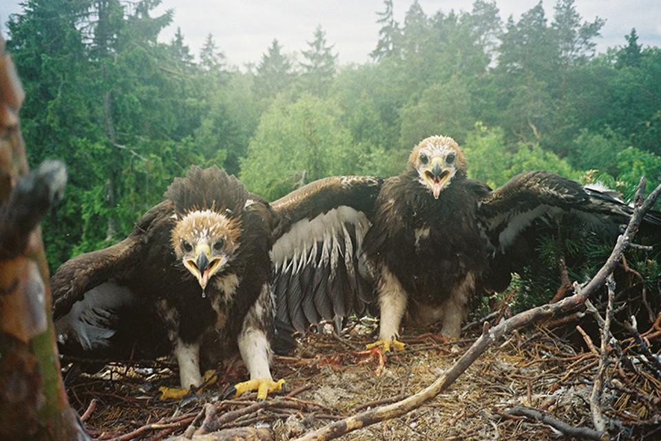 Это птенцы орла-беркута. Скоро они станут взрослыми и улетят из гнезда. Фото: Денис КИТЕЛЬ, АПБ.