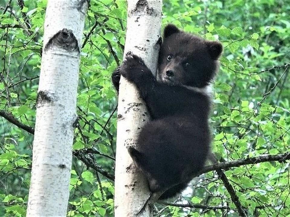 Фото Центра спасения медвежат-сирот