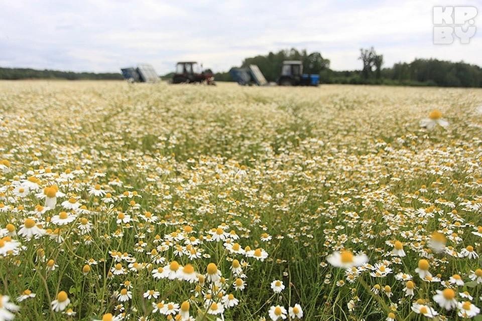 Участники летнего мероприятия смогут забрать с собой эти цветы или оставить на «поле» с добрыми пожеланиями