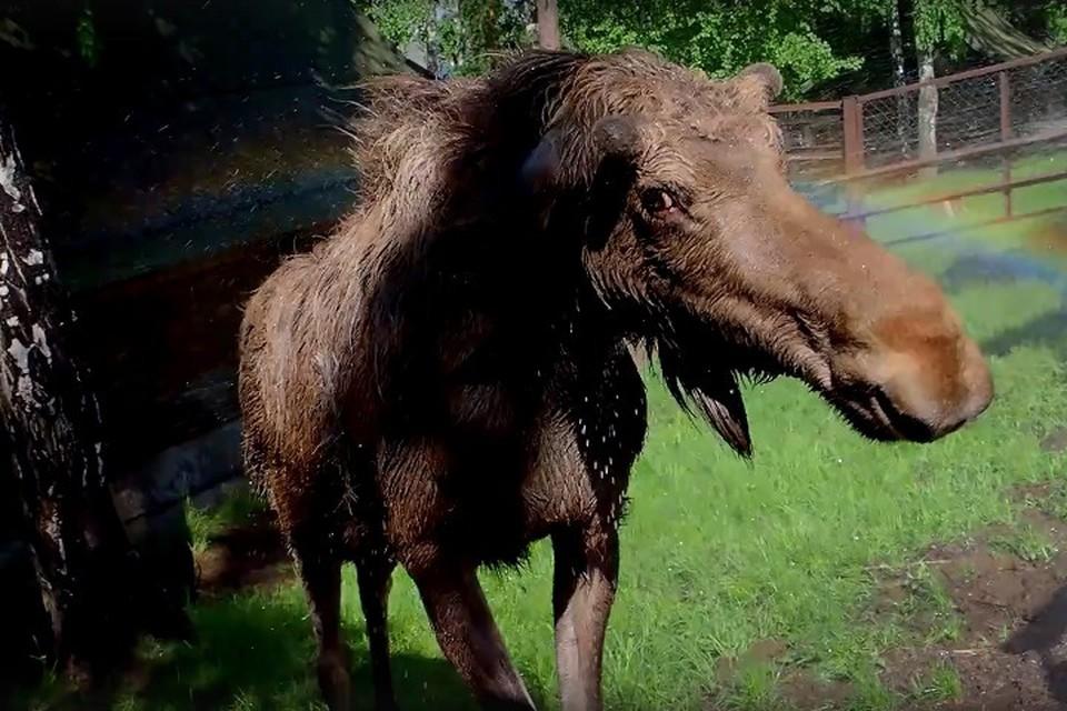 На Иван Купала лосята из красноярского зоопарка приняли душ вместе с радугой. Фото: стоп-кадр Роев ручей.